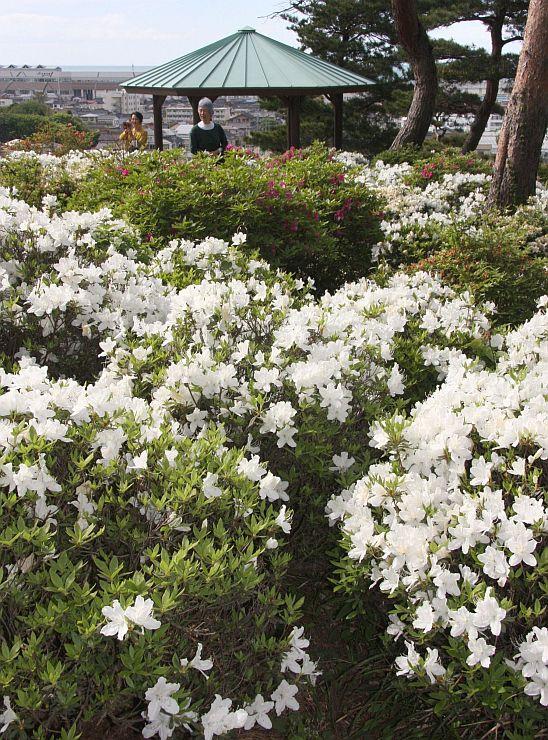 街並みや海を見下ろす斜面を彩るツツジ=16日、糸魚川市