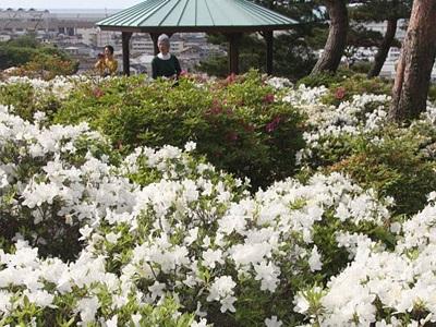 ツツジ見頃一面に 糸魚川「月華山かねこつつじ園」