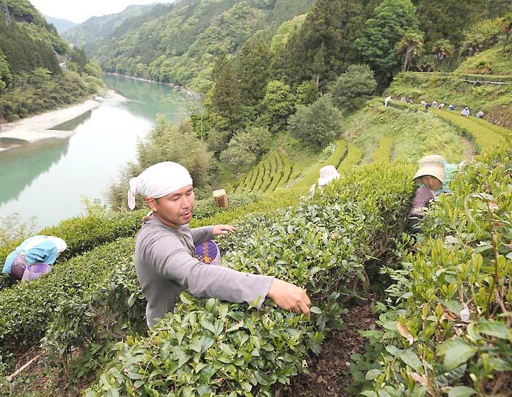 収穫期を迎えている天龍村中井侍地区の茶畑