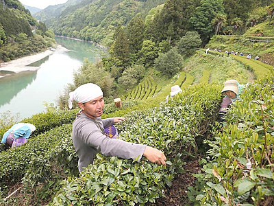 「茶摘み体験ツアー」好評 天龍で3年目、26日から