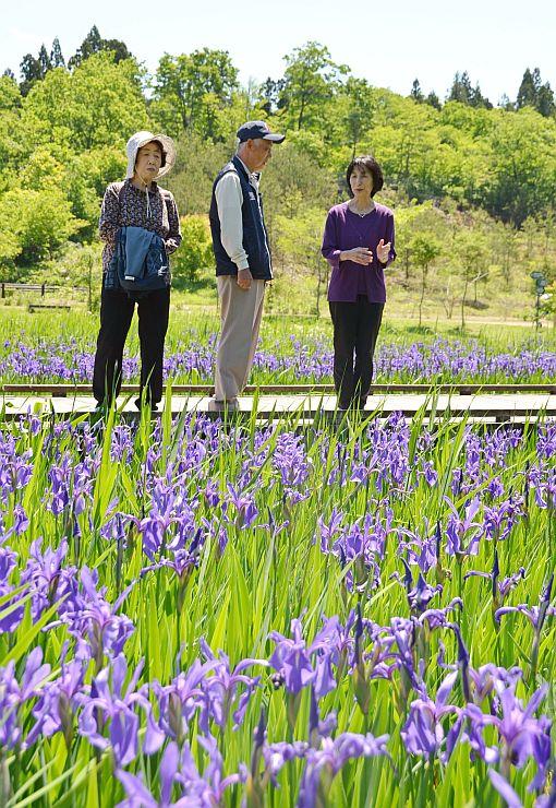 見頃を迎えたカキツバタについて説明する栗林淳子さん(右)=19日、柏崎市軽井川