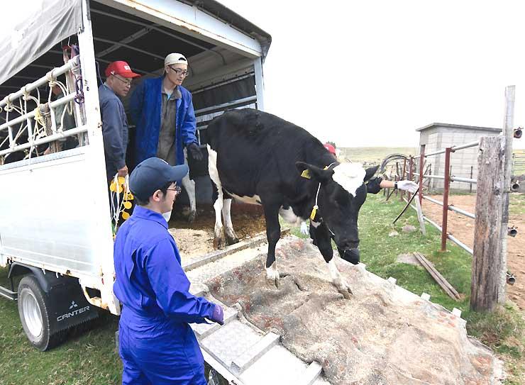 トラックの荷台から牧場へと降りる牛