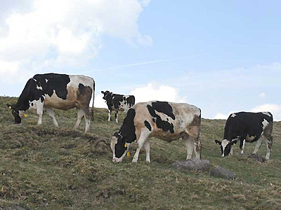 涼風渡る高原、牛のんびり 美ケ原で放牧始まる