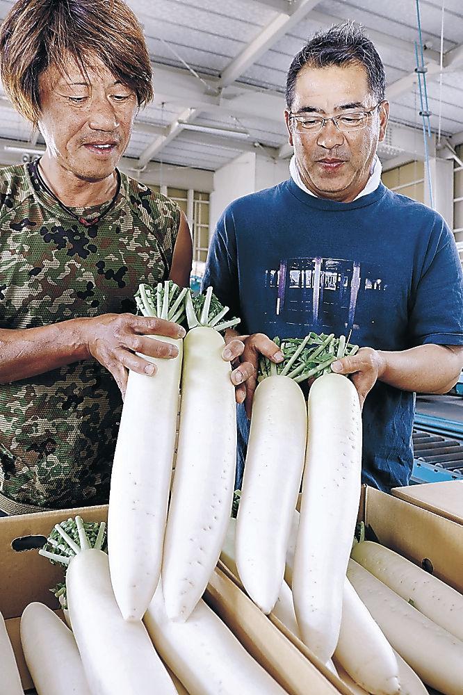 本格的に出荷が始まった春ダイコン=小松市今江町1丁目のJA小松市野菜集出荷場