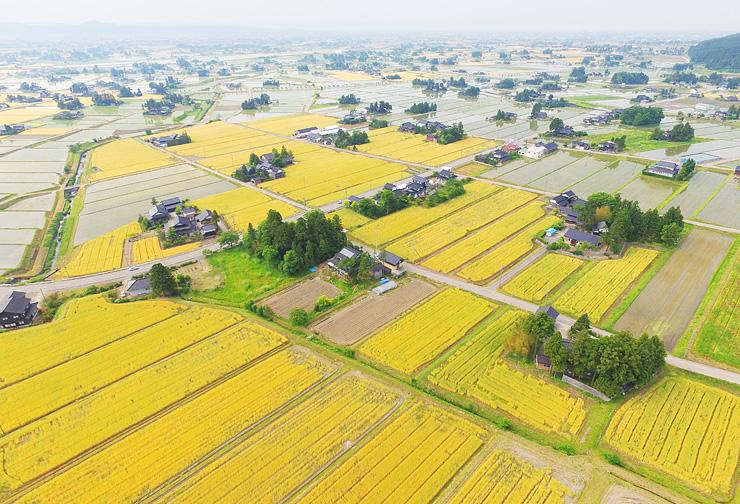 黄金色に実った散居村の麦畑=南砺市蓑谷、小型無人機「ドローン」で撮影