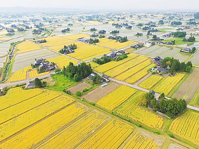 散居村 黄金に染まる 城端、大麦色づく
