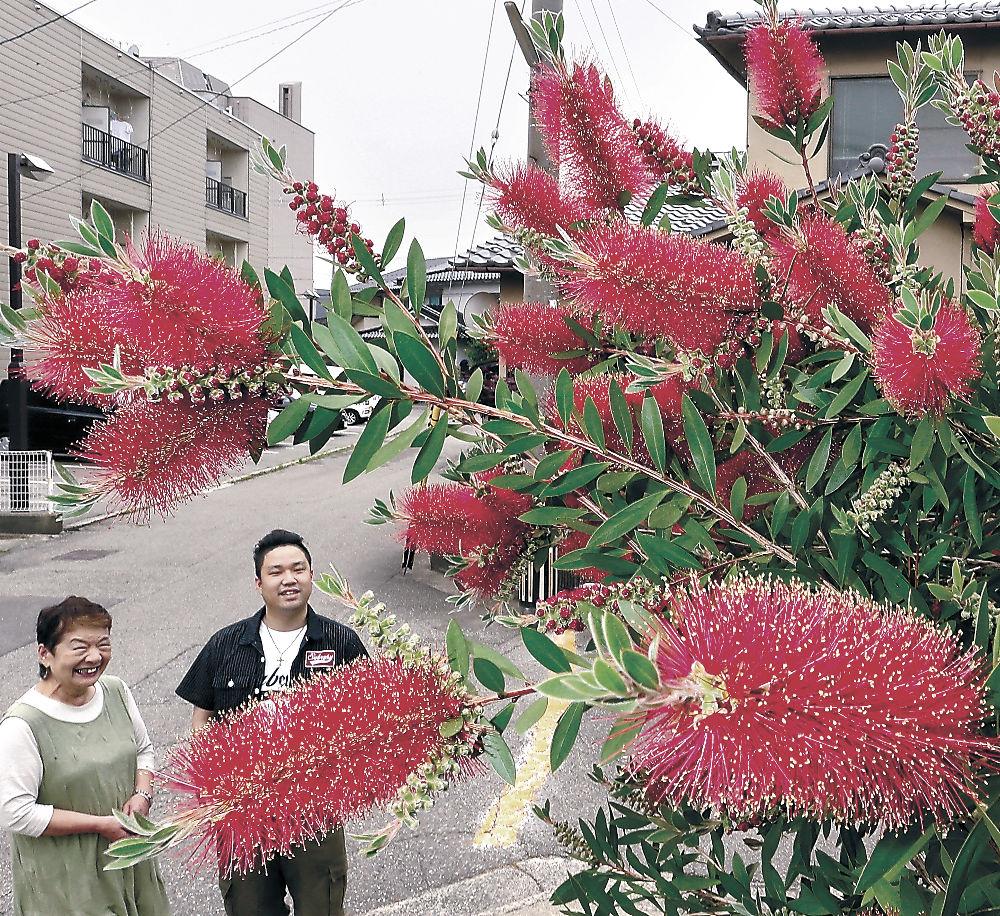 見頃を迎えたブラシノキ=金沢市元菊町