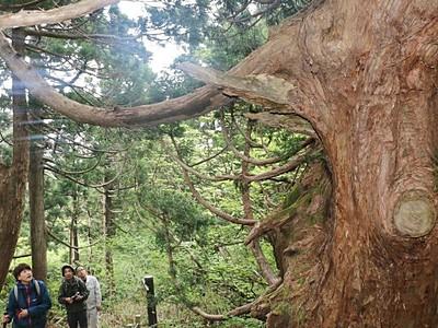 石名天然杉遊歩道 今季26日オープン