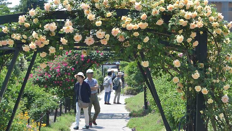 安曇野市豊科近代美術館の庭園で咲くバラ。27日に始まるバラ祭りに合わせて見頃を迎えそうだ