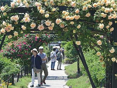 安曇野のバラ、見に来て 27日から祭り