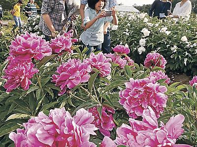 シャクヤク2千株鮮やか 金大の薬用植物園