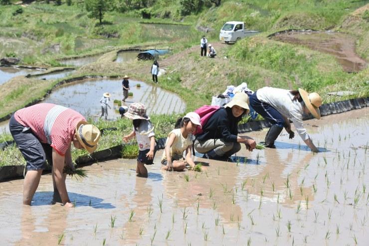 「稲倉の棚田」で苗を植えるオーナー。子どもたちも泥の感触を楽しんだ