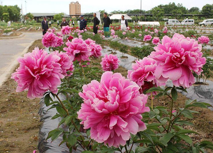 プレオープンした「しゃくやく園」で咲くシャクヤク=26日、五泉市赤海の東公園