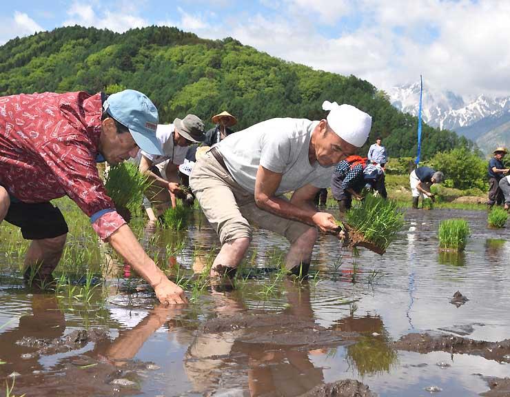 白馬ブランドの日本酒に使う酒米の苗を田に植える人たち