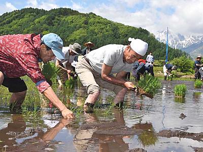 白馬ブランドの日本酒に 酒米、初の田植え