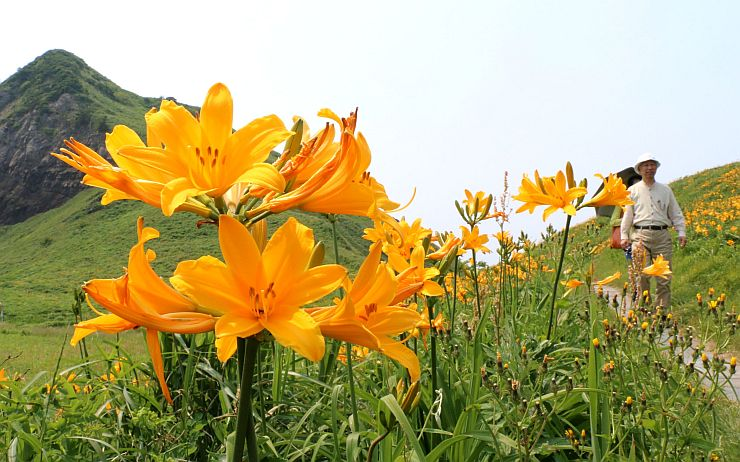 一面に黄色い花を咲かせたトビシマカンゾウ=30日、佐渡市願の大野亀