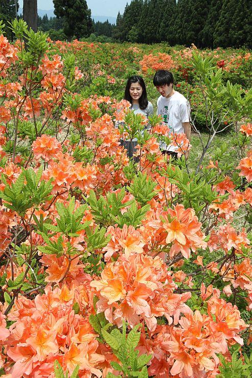 競うように花を付けたツツジ=31日、十日町市の「つつじ原公園」