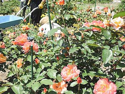 北ア見渡す高台のバラ 池田で2日から「祭り」