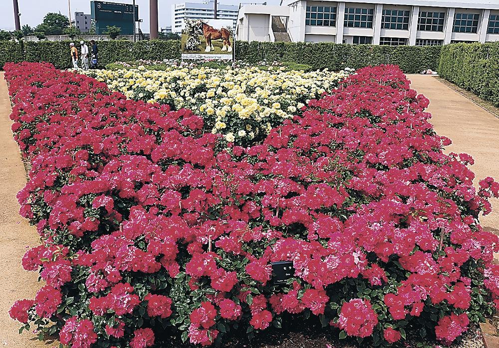 見頃を迎えた色鮮やかなバラ=小松市弁慶スタジアム前
