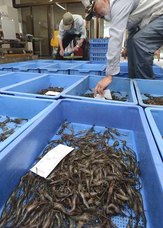 初出荷されたテナガエビ=1日、諏訪市の諏訪湖漁業センター