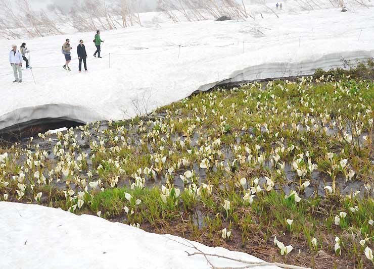 雪が解け始めた園内の川辺に咲くミズバショウ