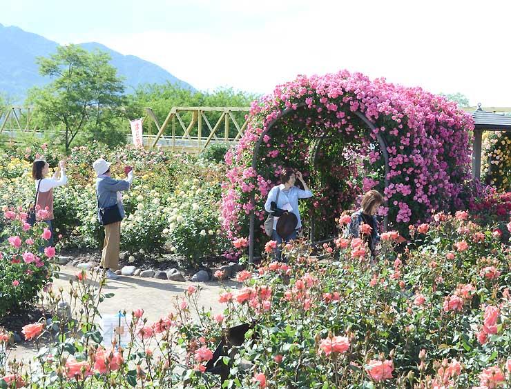 色とりどりのバラが見頃を迎えたさかき千曲川バラ公園