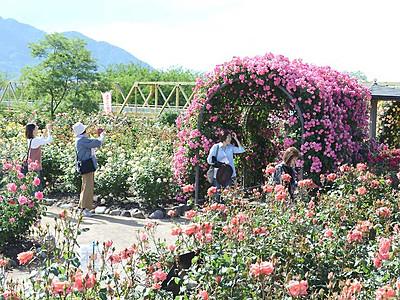 2300株のバラ、香りも華やか 坂城の公園で見頃