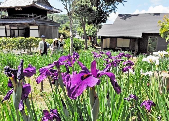 鮮やかなハナショウブが咲き始めた花菖蒲園=4日、福井県小浜市浅間の常高寺