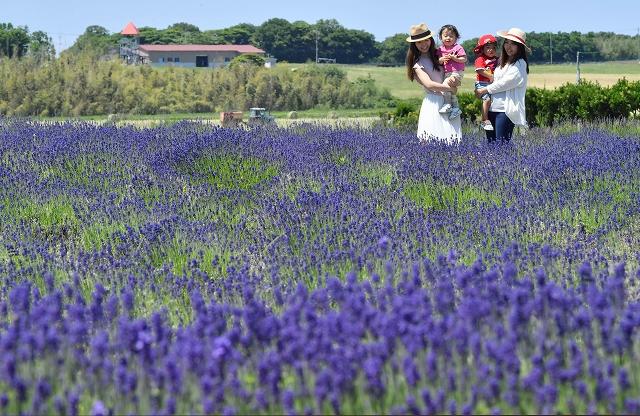 鮮やかな紫色の花が広がるラベンダー畑=5日、福井県坂井市三国町加戸