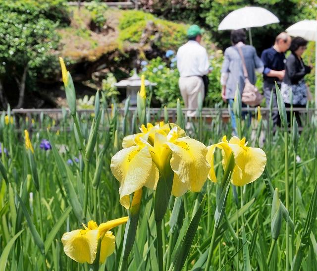 咲き始めた大安禅寺のハナショウブ=4日、福井市