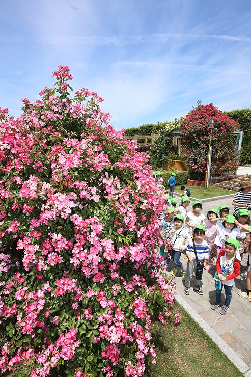 青空の下、色鮮やかに咲くバラ=高岡おとぎの森公園