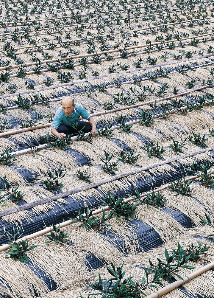 わらを敷いた畝から葉を伸ばす金時草=金沢市加賀朝日町