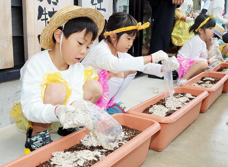 ヒマワリやショウガのプランターにカキの殻を敷き詰める園児