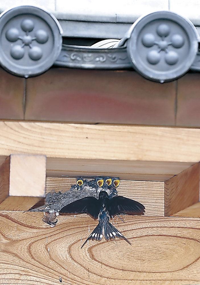 ひなに餌を運ぶ親ツバメ=金沢城公園
