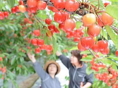 サクランボ狩りいかが 福井県越前市「どんぐり山」