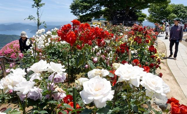 色鮮やかに咲き誇るバラ園=9日、レインボーライン山頂公園
