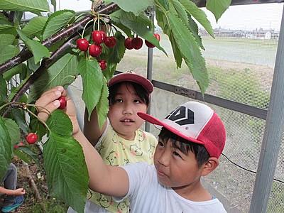 上越・和田小 矢代農園でサクランボ収穫体験