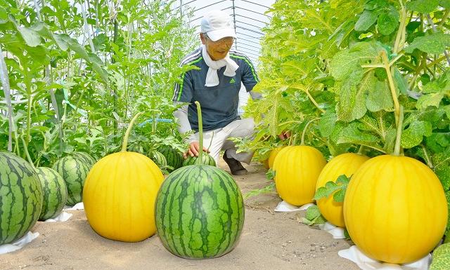 収穫が始まった金福すいかと銀福すいか=9日、福井市