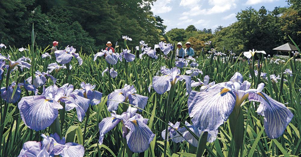 咲き始めたハナショウブ=金沢市の卯辰山花菖蒲園