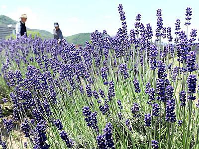 紫の花々、初夏の風に揺れる 千曲でラベンダー見頃