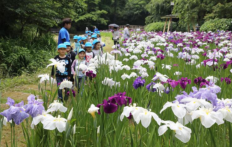 一面に花を咲かせたハナショウブ=行田公園(写真部部長デスク・垣地信治)