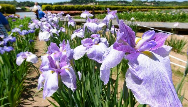 湖畔を彩るかれんなハナショウブ=14日、福井県あわら市北潟の北潟湖畔花菖蒲園