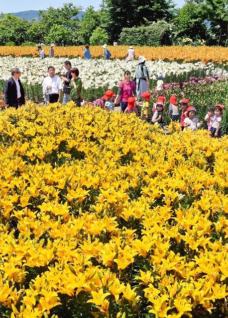 鮮やかな花を咲かせ、見頃を迎えているユリ=15日、坂井市ゆりの里公園