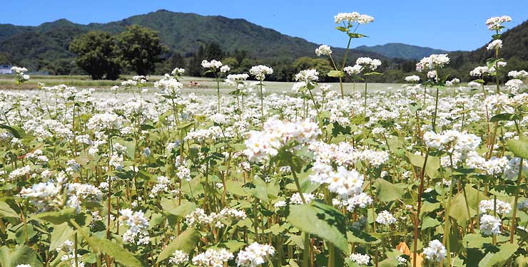 青空の下で風に揺れるソバの花=15日、下條村