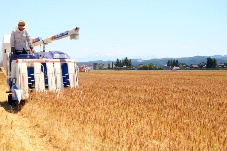 小麦が広がるほ場で収穫作業を行う組合員