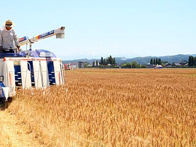 「大門素麺」用の小麦収穫始まる