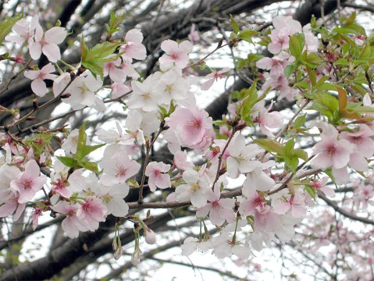 県固有種のコシノフユザクラ。富山県美術館の周辺に植樹されることになった