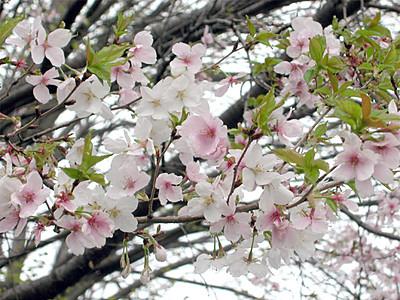 県美術館を桜の名所に コシノフユザクラ植樹へ