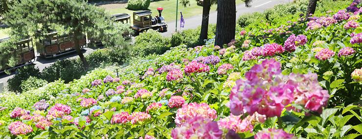 一面に咲いたアジサイ=県民公園太閤山ランド