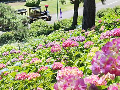 70種2万株咲き競う 太閤山ランドであじさい祭り
